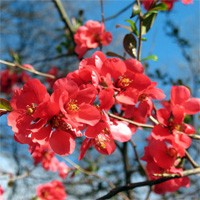 Quince - Texas Scarlet Flowering