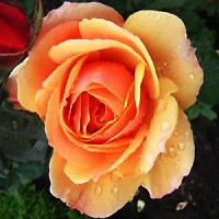 Rose - About Face™ - Grandiflora