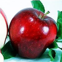 Apple Tree - Red Delicious