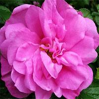 Rose - Belle Poitevine - Rugosa