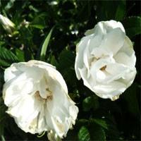 Rose - Blanc Double de Coubert - Hybrid Rugosa
