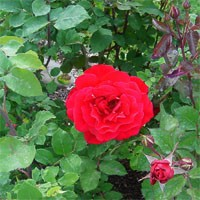 Rose - Chrysler Imperial - Hybrid Tea