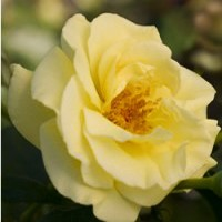 Rose - Easy Elegance® High Voltage - Shrub
