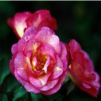 Rose - Easy Elegance® Sunrise Sunset
