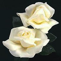 Rose - Home and Family - Hybrid Tea