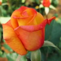 Rose - Rio Samba™ - Hybrid Tea Rose