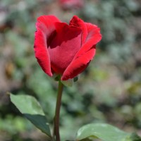 Rose - Mr. Lincoln - Hybrid Tea