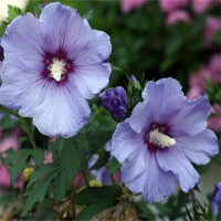 Rose of Sharon - Azurri Satin