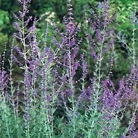 Russian sage - little spire