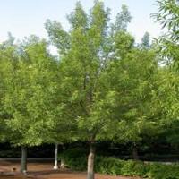 Sawtooth Oak Trees