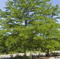 Shademaster Honeylocust Trees