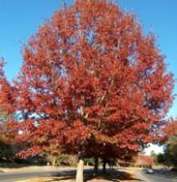 Shumard Oak Trees