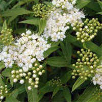 Spirea - Japanese White