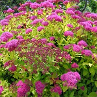 Spirea - Magic Carpet