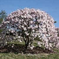 Star Magnolia | Nature Hills