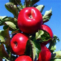 Urban Apple® Combo - Tasty Red & Blushing Bride Trees