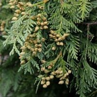 Arborvitae - Nigra