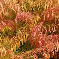 Tiger Eyes Cutleaf Staghorn Sumac