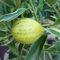 Kumquat - Centennial Variegated