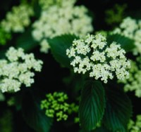 Viburnum - Chicago Lustre® Arrowwood