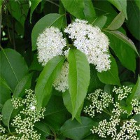 Nannyberry Viburnum Bush