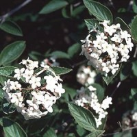 Viburnum - Fragrant
