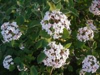 Mohican Viburnum Bush
