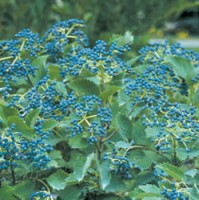 Viburnum - Blue Muffin®
