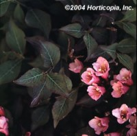 Weigela - Java Red
