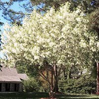 White Fringe Trees