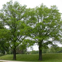 Willow Oak Trees