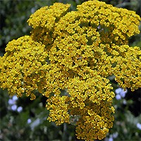 Yarrow - Coronation Gold