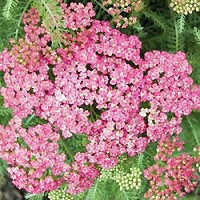 Yarrow - Saucy Seduction