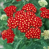 Yarrow - Strawberry Seduction