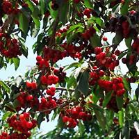 bing cherry trees buy online at nature hills nursery