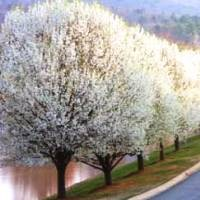 Cleveland Flowering Pear Trees Buy Online At Nature Hills