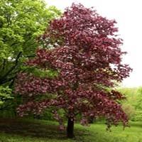 Crimson King Maple Trees Buy Online At Nature Hills Nursery