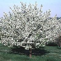 Snowdrift Crabapple Trees Buy Online Nature Hills Nursery