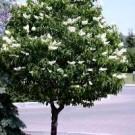 Tree Lilac