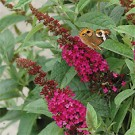 Butterfly Bush - Miss Molly