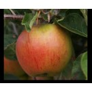 Apple Tree - Cox Orange Pippin