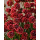Sea Thrift - Ballerina Red