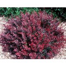 Barberry - Intermedia