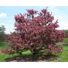 Crabapple - Purple Prince