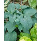Hosta - Blueberry Muffin
