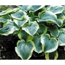 Hosta - Brass Ring