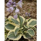 Hosta - Mighty Mouse