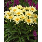 Shasta Daisy - Banana Cream