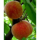 Redhaven Peach Trees