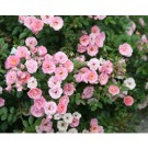 Oso Easy(TM) Rose -  Happy Petit Pink